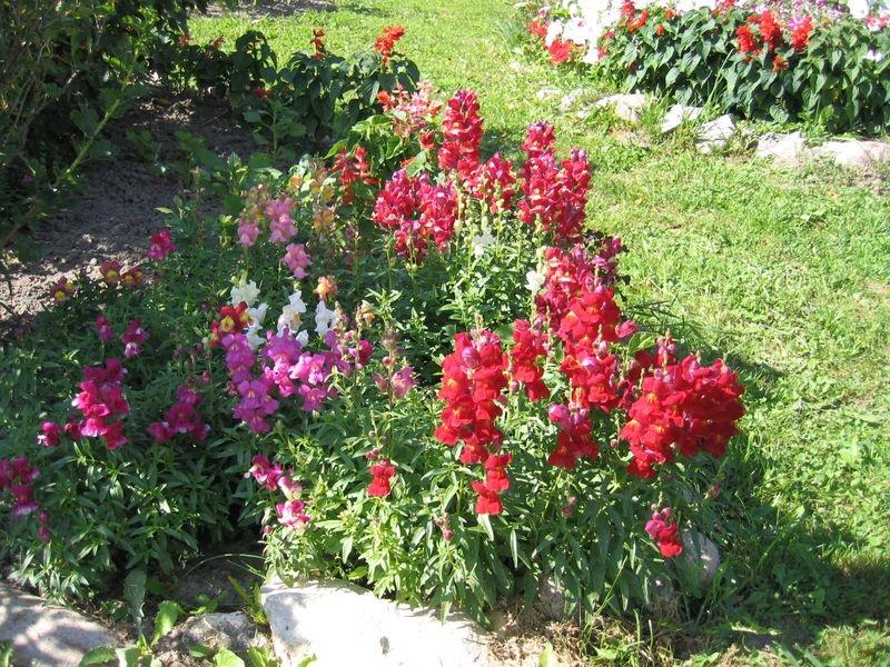 Красные цветы на газоне