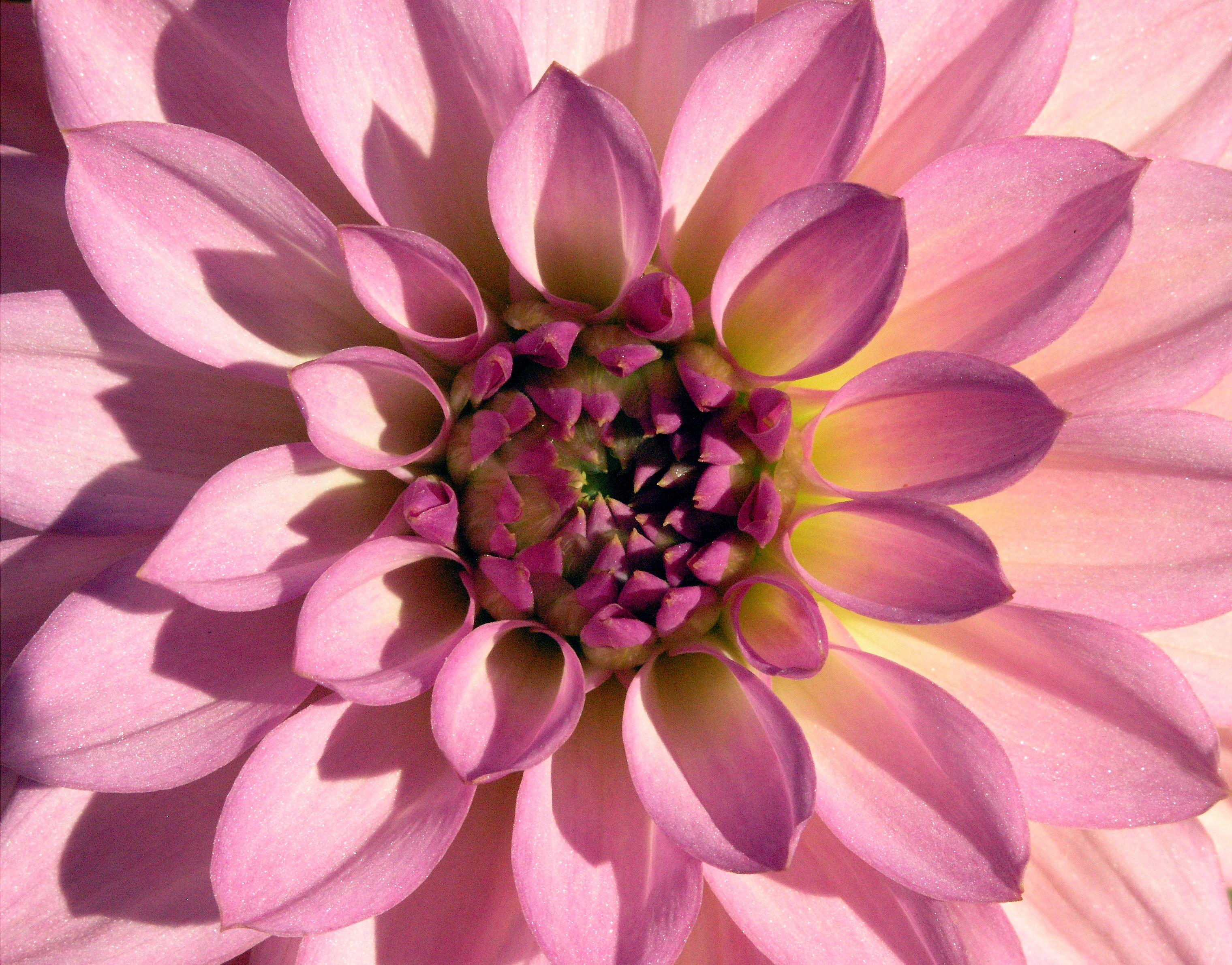 Лепестки георгины розового цвета