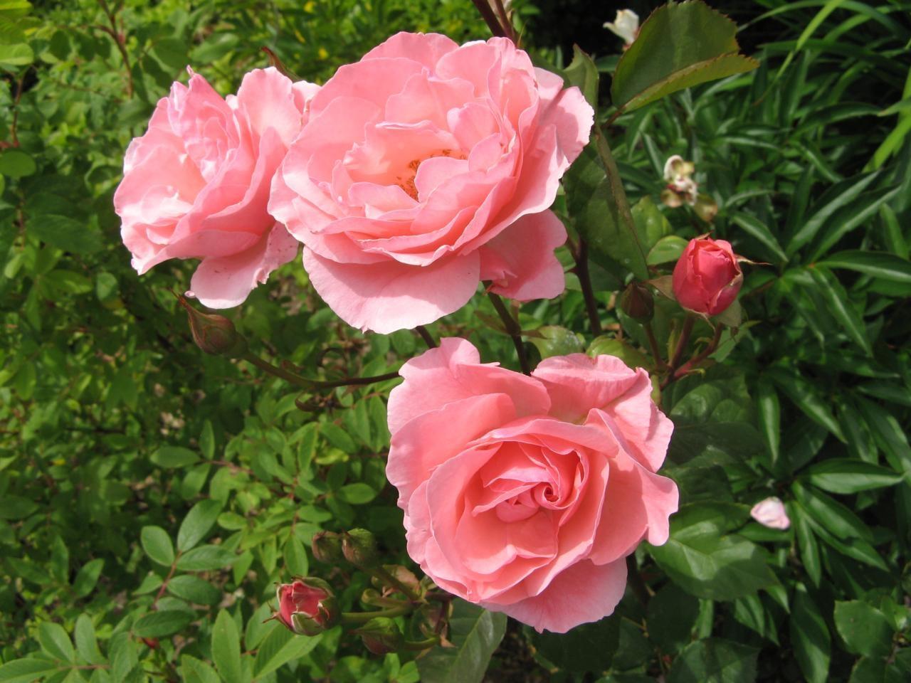 Розовое цветение розы флорибунда