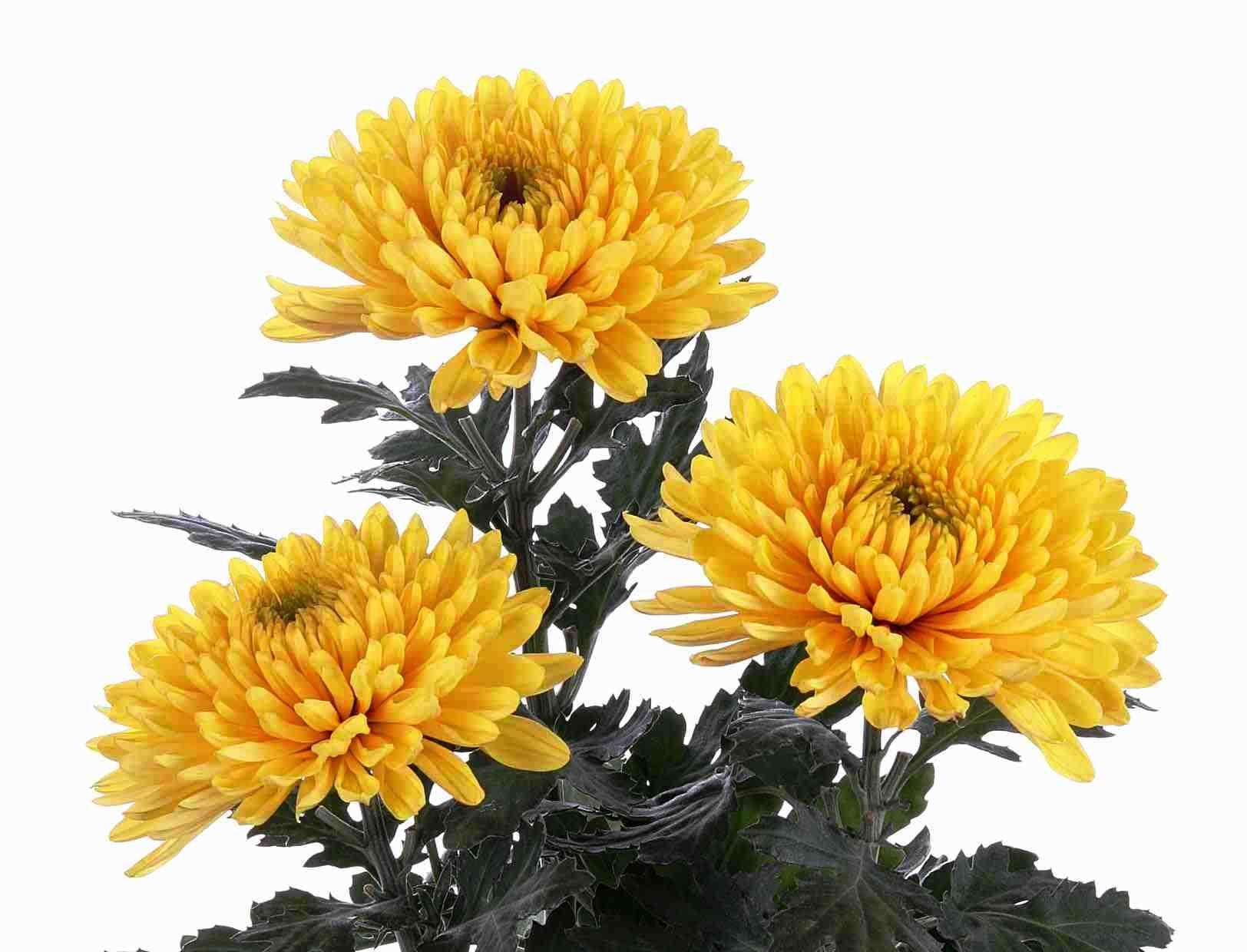 Желтые соцветия хризантем
