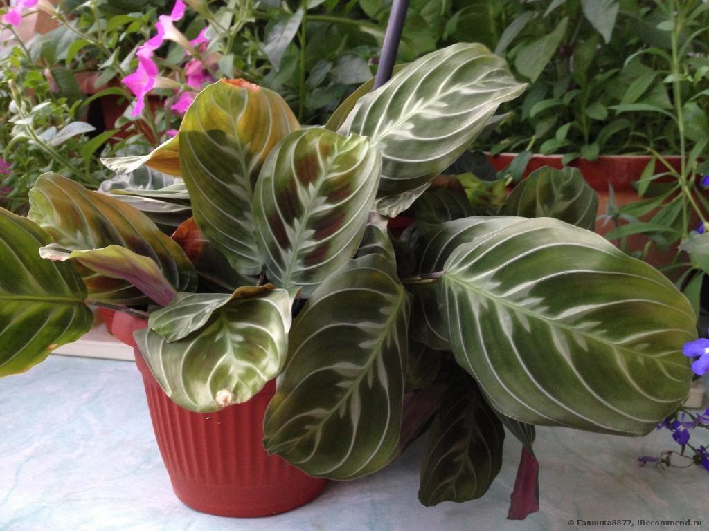 Маранта со светлыми полосами на листьях