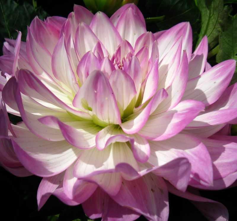 Сиреневый с белым цветок георгины