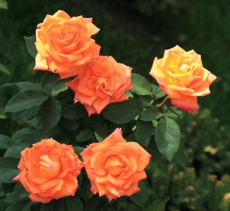 ркий оранжевый цвет роз флорибунда
