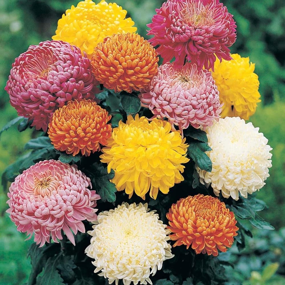 Різноманіття видів хризантеми
