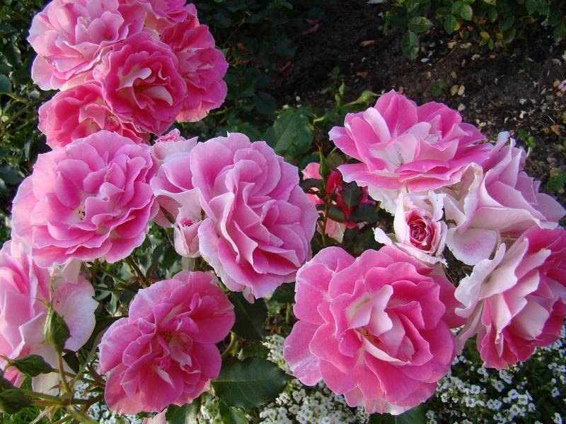 Роза флорибунда в розовом цвете