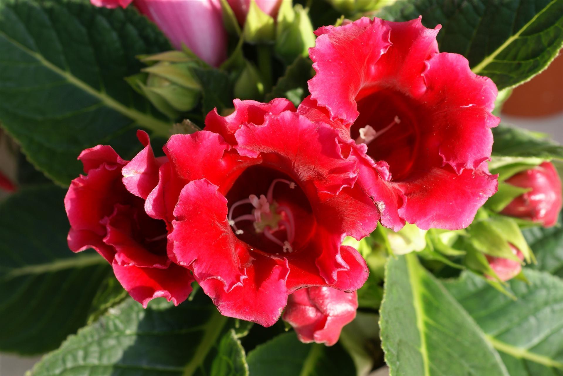 Яркий красный оттенок цветка