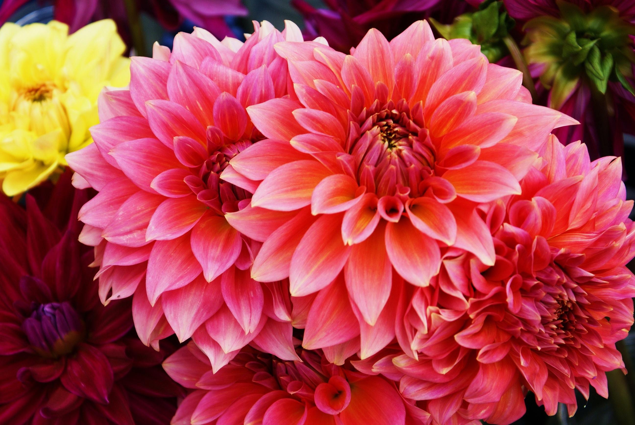 Розовые георгины необычного цвета