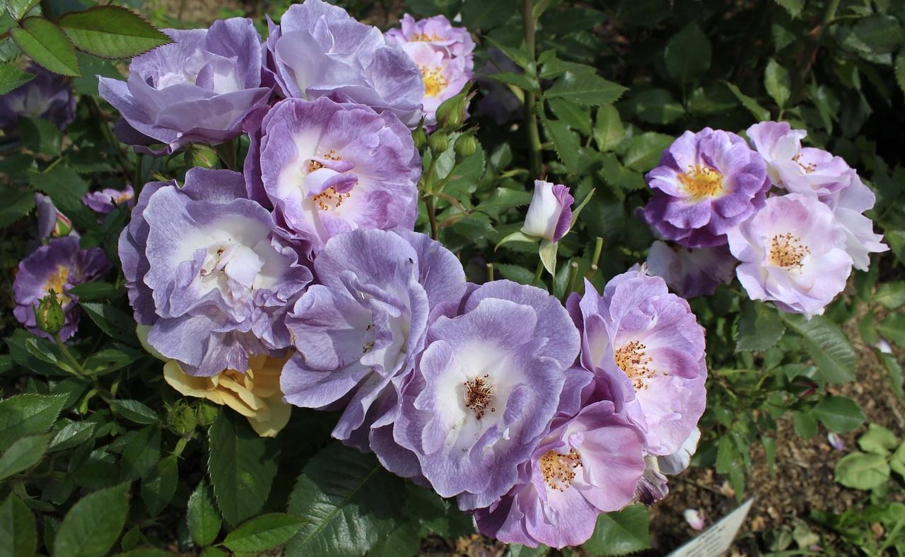 Сиреневый оттенок лепестков роз