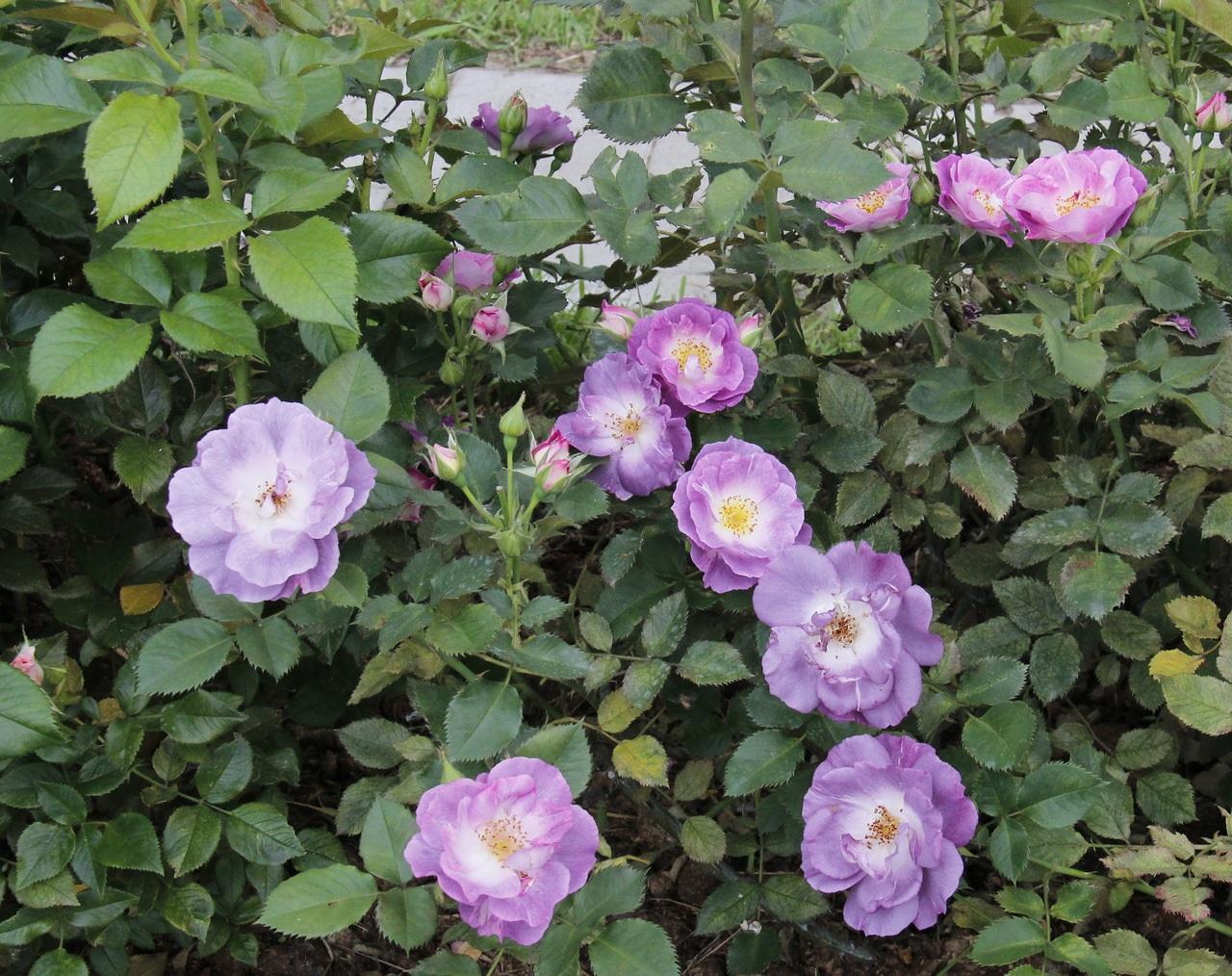 Сиреневые розы флорибунда