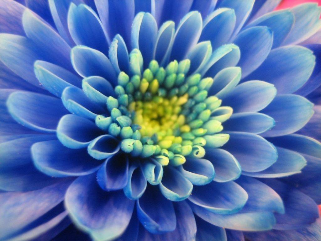 Синие лепестки хризантемы
