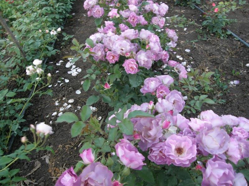 Кусты сиреневых роз
