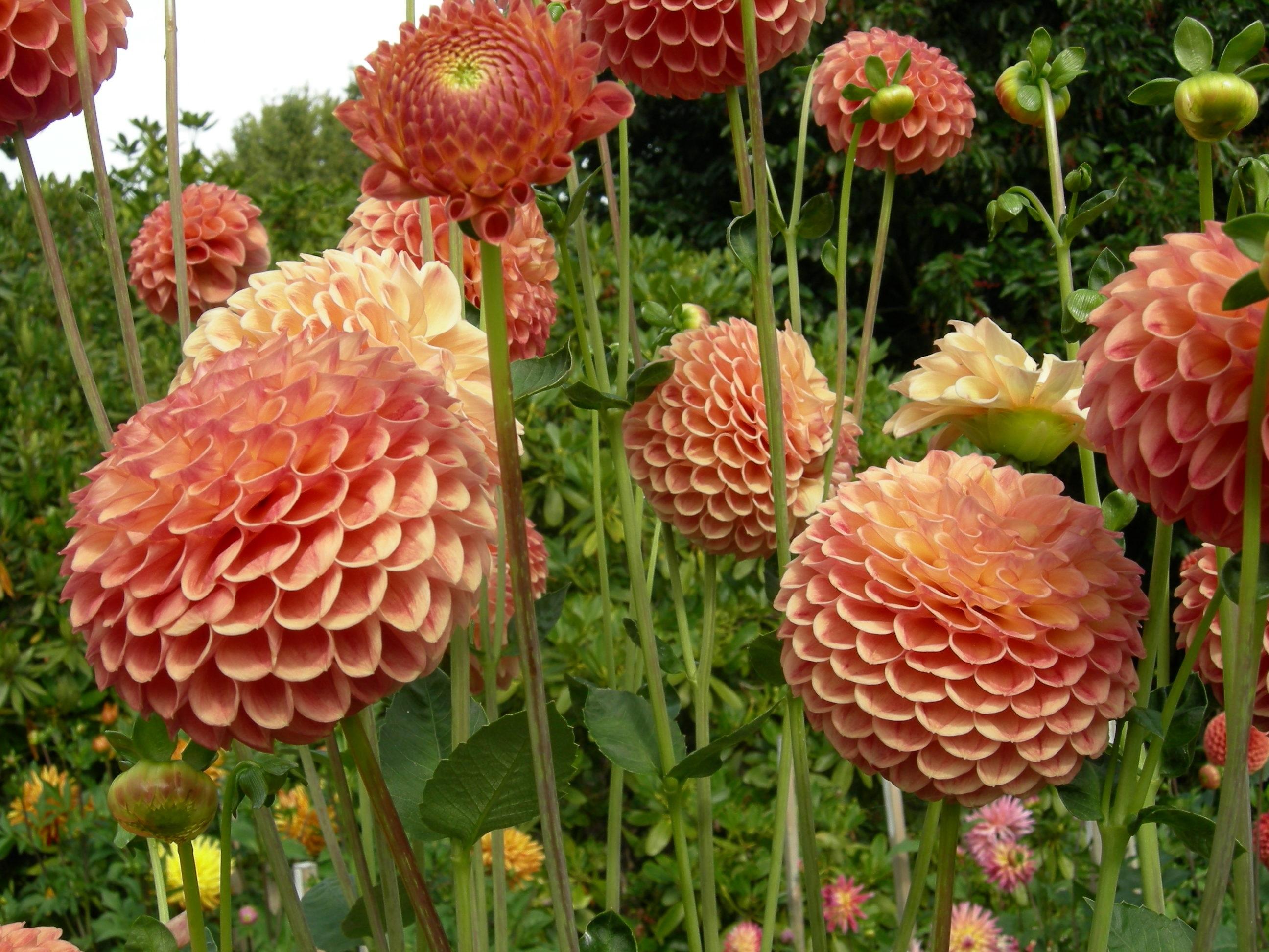 Круглые оранжевые цветы георгины
