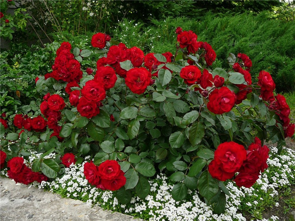 Ярко красный бордюр из роз