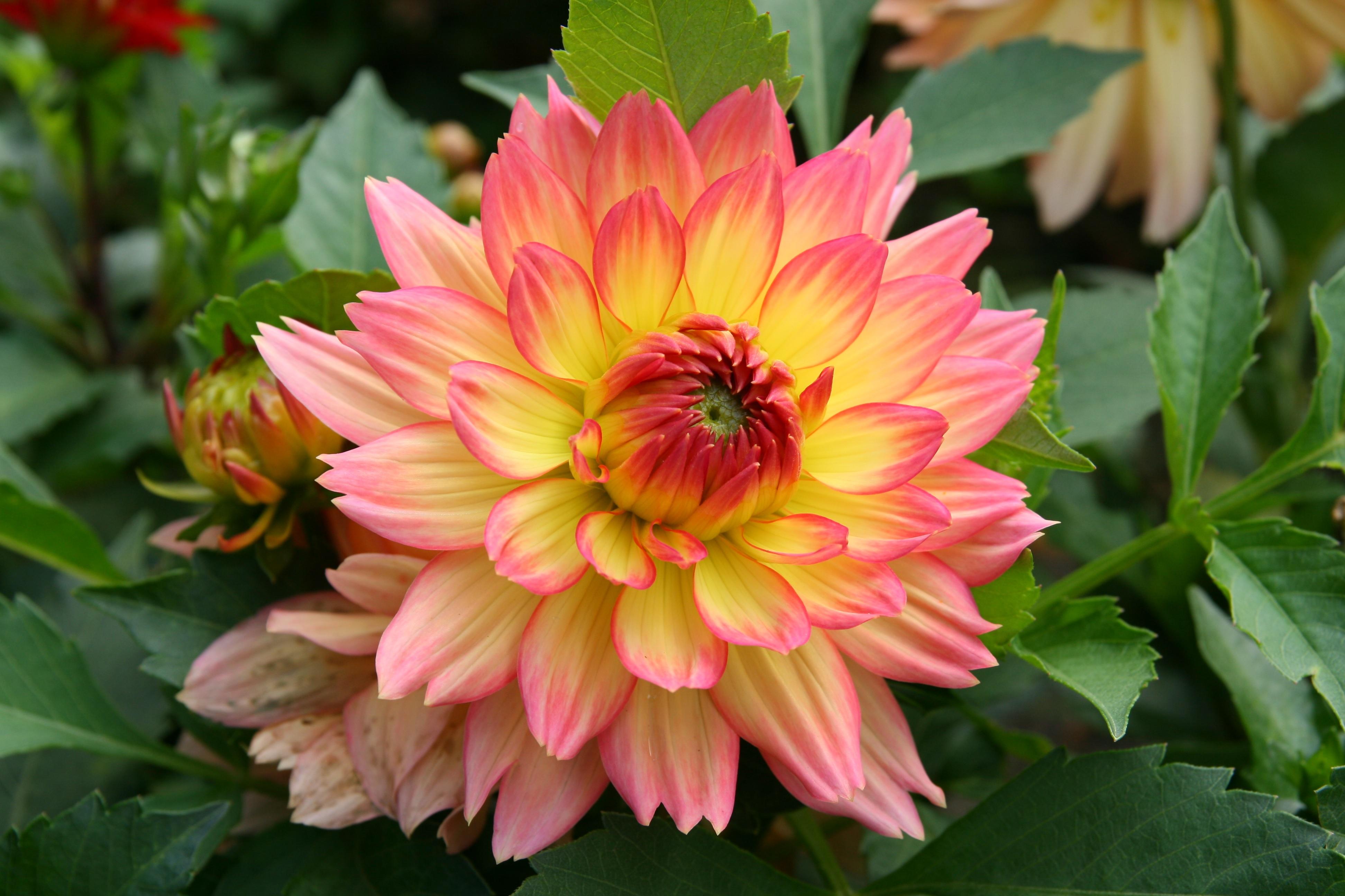Распустившийся цветок георгины