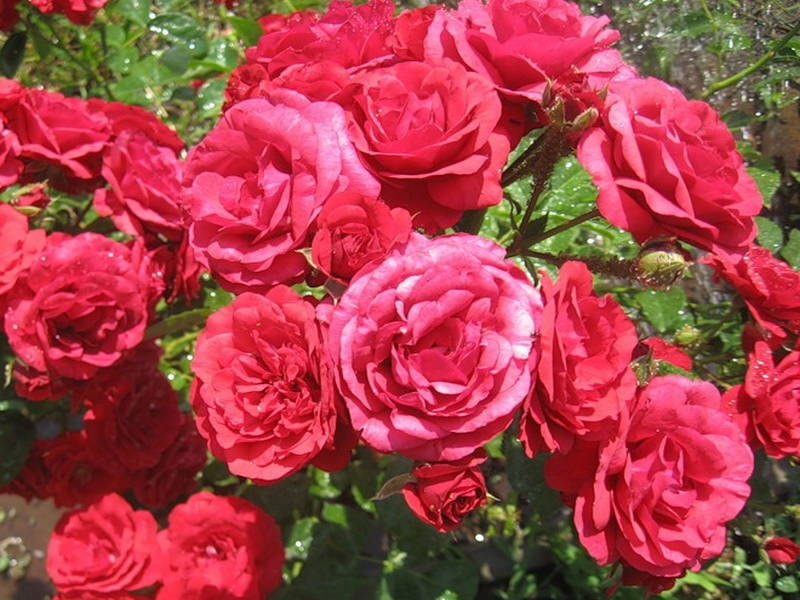 Пышное цветение красных роз