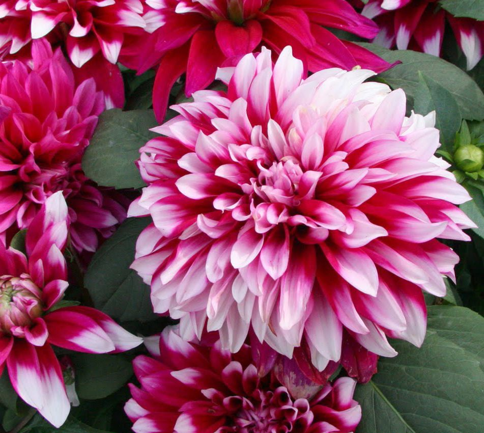 Пестрый цветок георгины