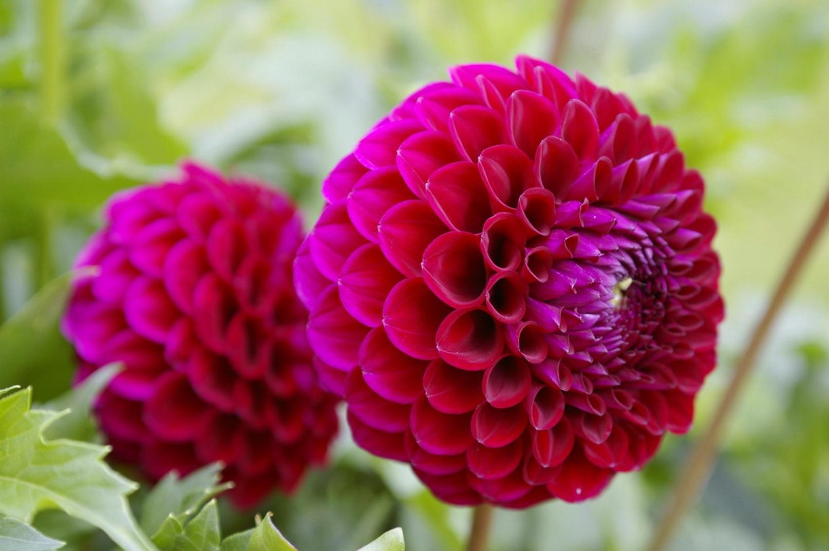 Красные шары цветов георгины