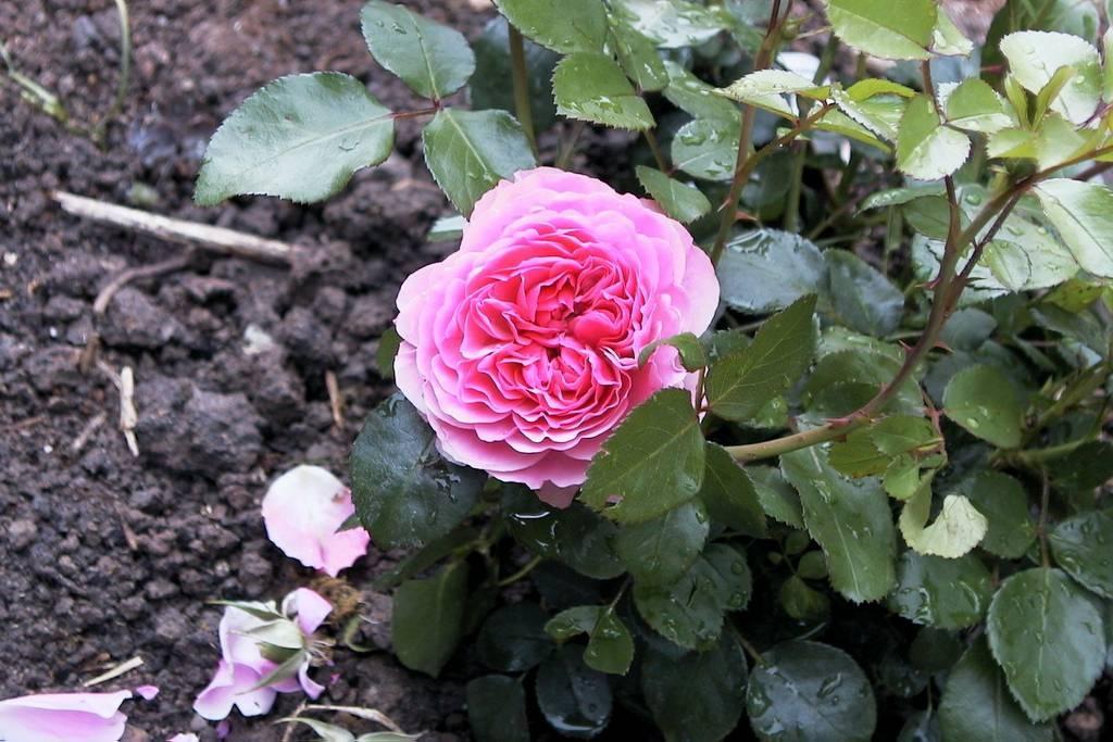 Цветок розы флорибунда в листве