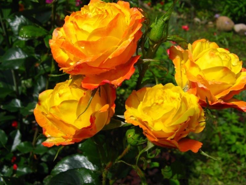 Оранжево-желтые цветки роз