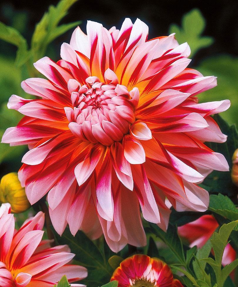 Садовая георгина яркого цвета