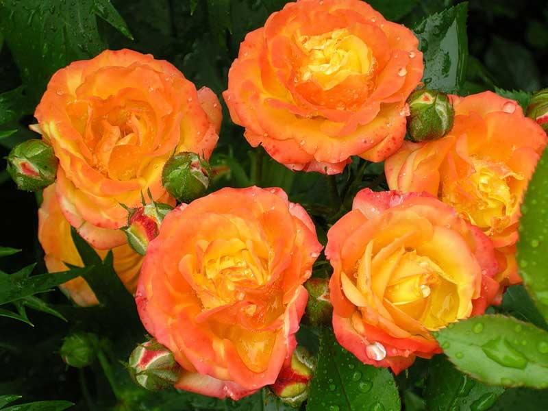 Оранжевый и желтый цвета на лепестках роз