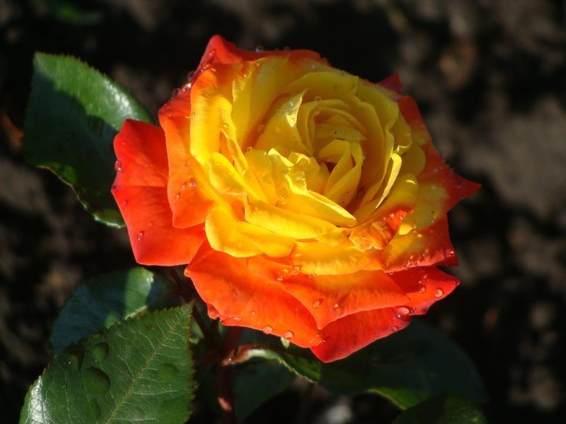 Сочетание желтого и оранжевого в одном цветке