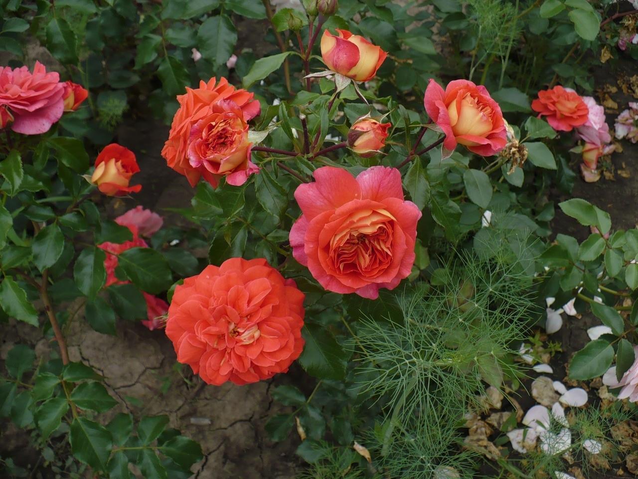 Нежные оттенки на кусте роз