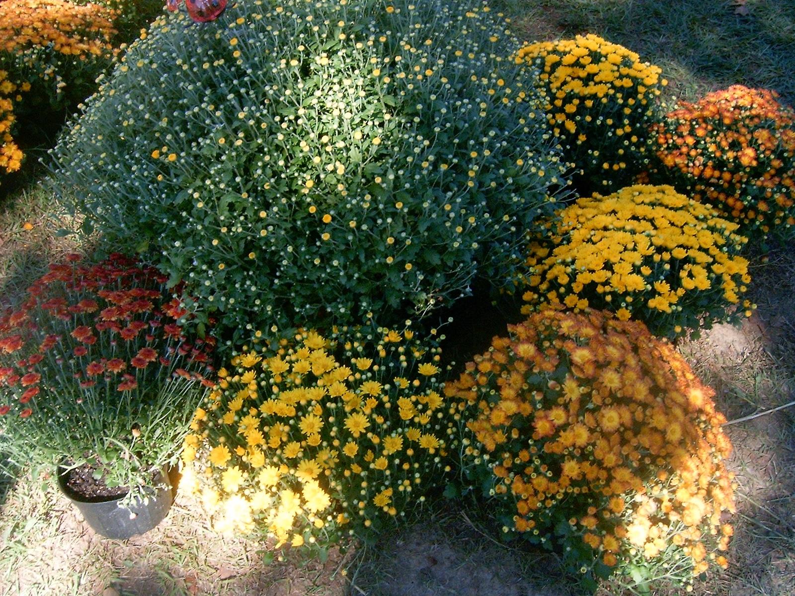 Хризантемы в групповых посадках
