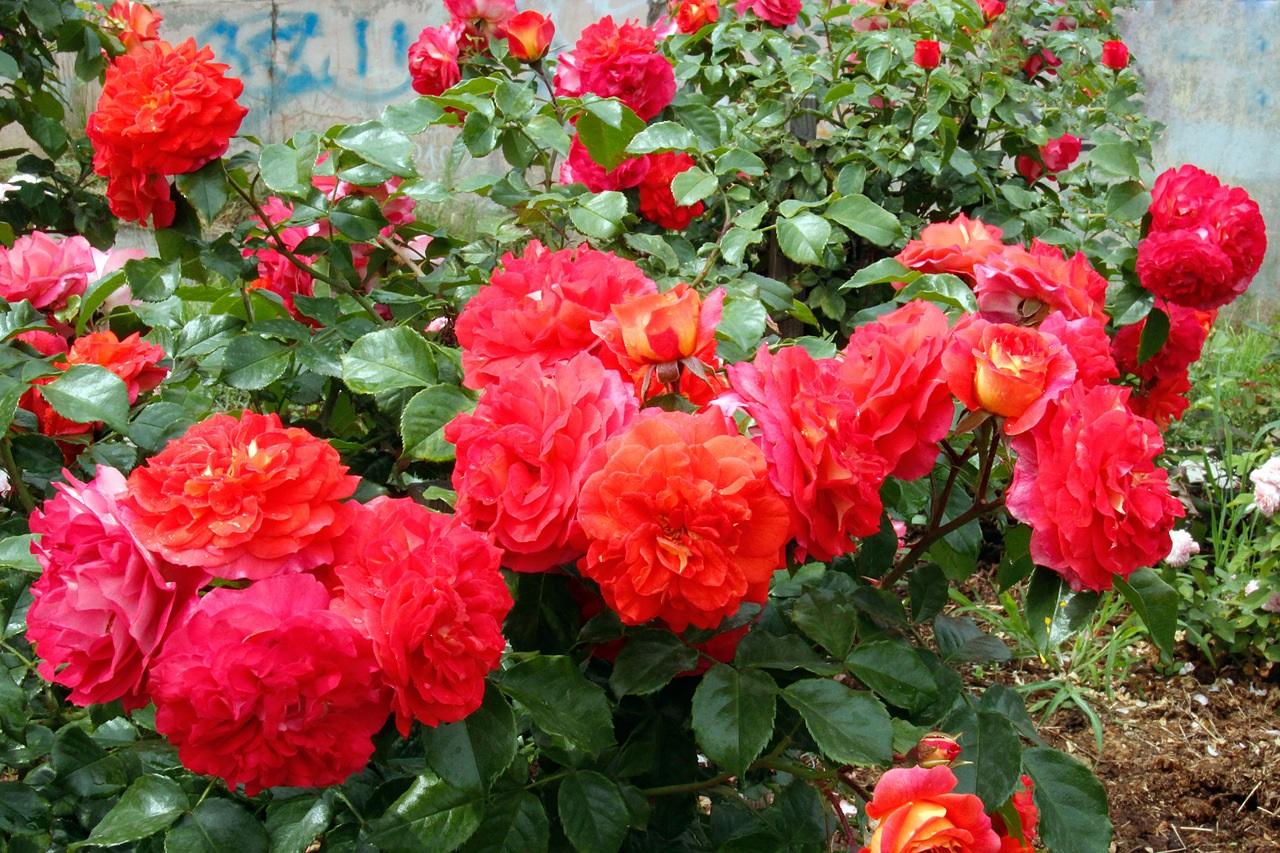 Ярко-алые цветки роз