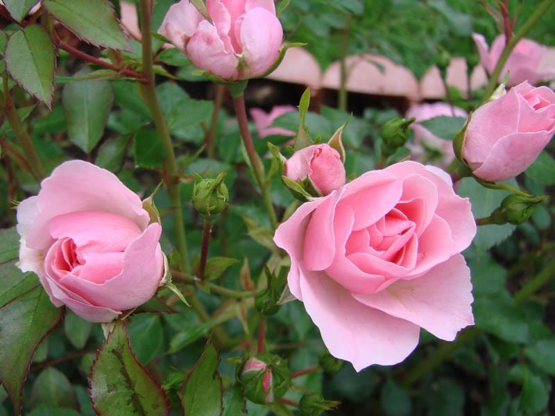 Распускающиеся бутоны розы флорибунда