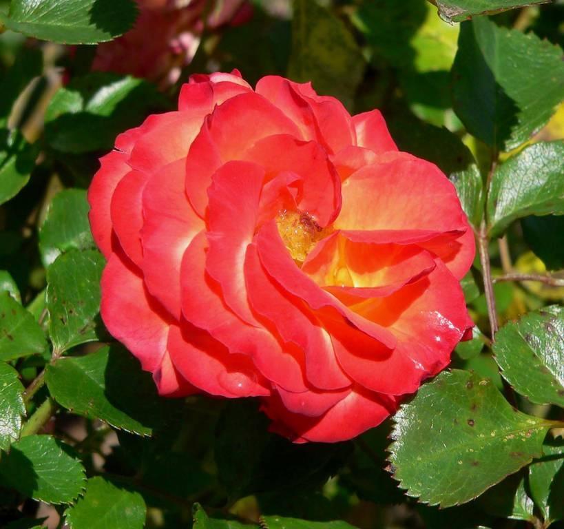 Плавные линии лепестков розы