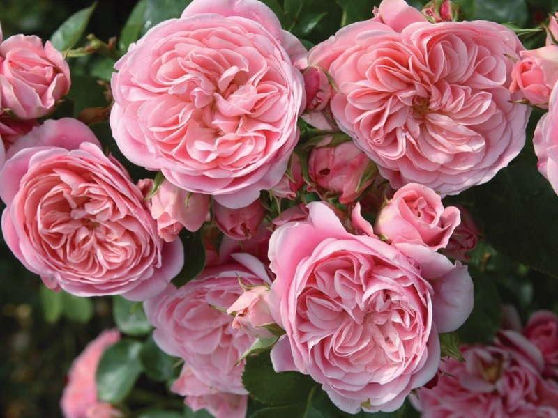 Пышные цветки розы