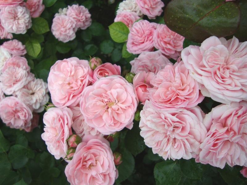 Богатое цветение роз