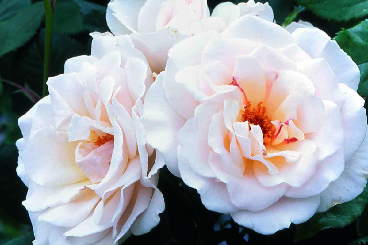 Белые розы с желтой сердцевиной