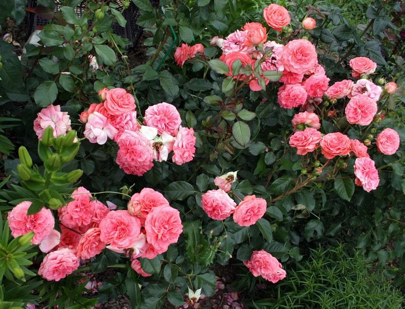 Розовые кусты пышноцветущей розы
