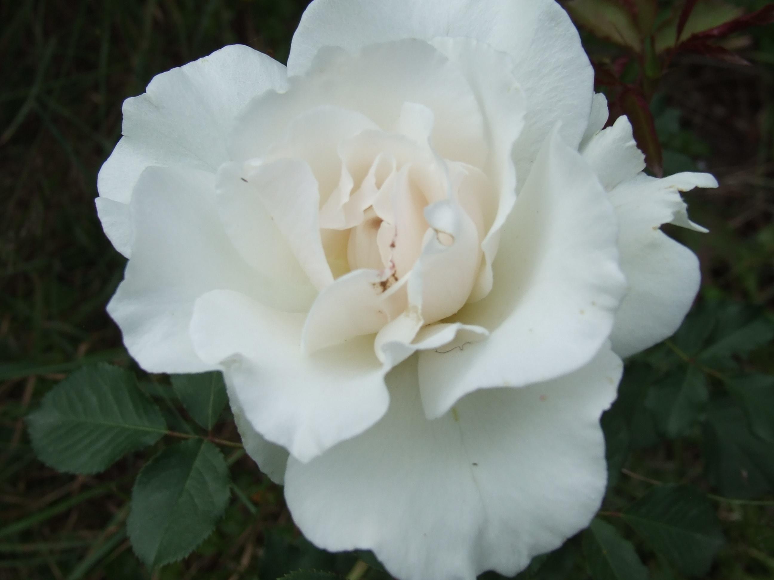 Белые лепестки изящной розы
