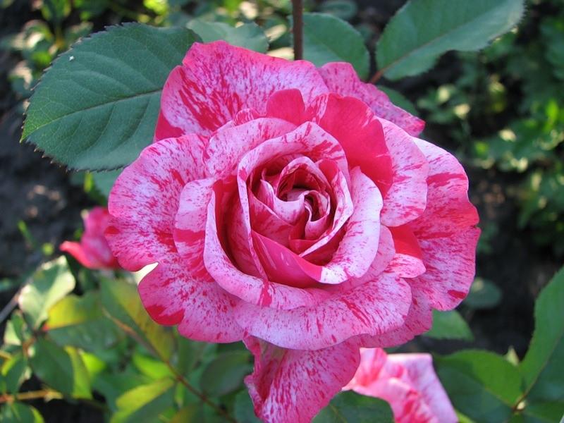 Оригинальная расцветка розы флорибунда