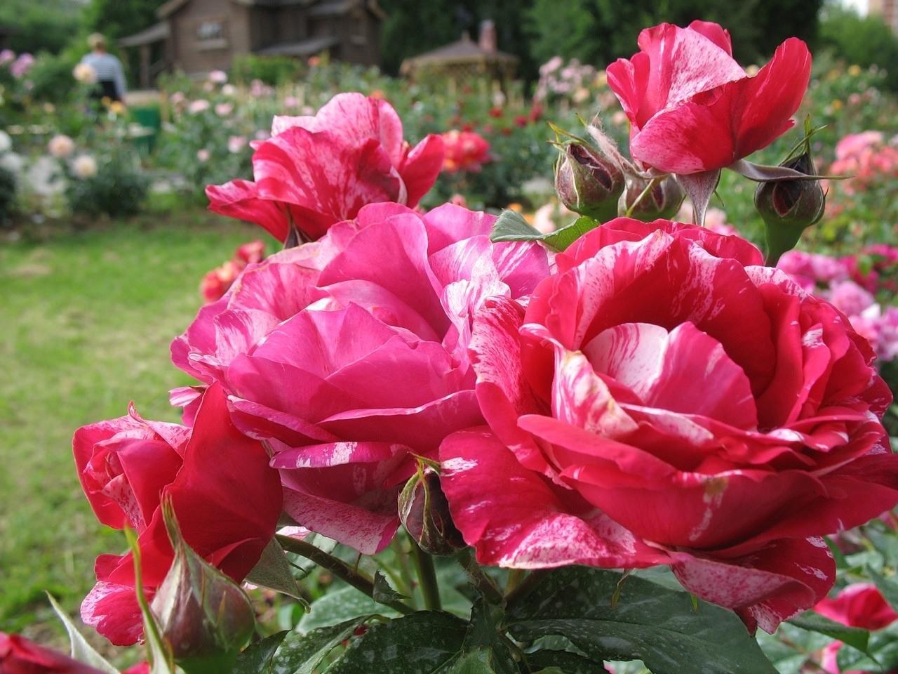 Пестрое сочетание на лепестках роз