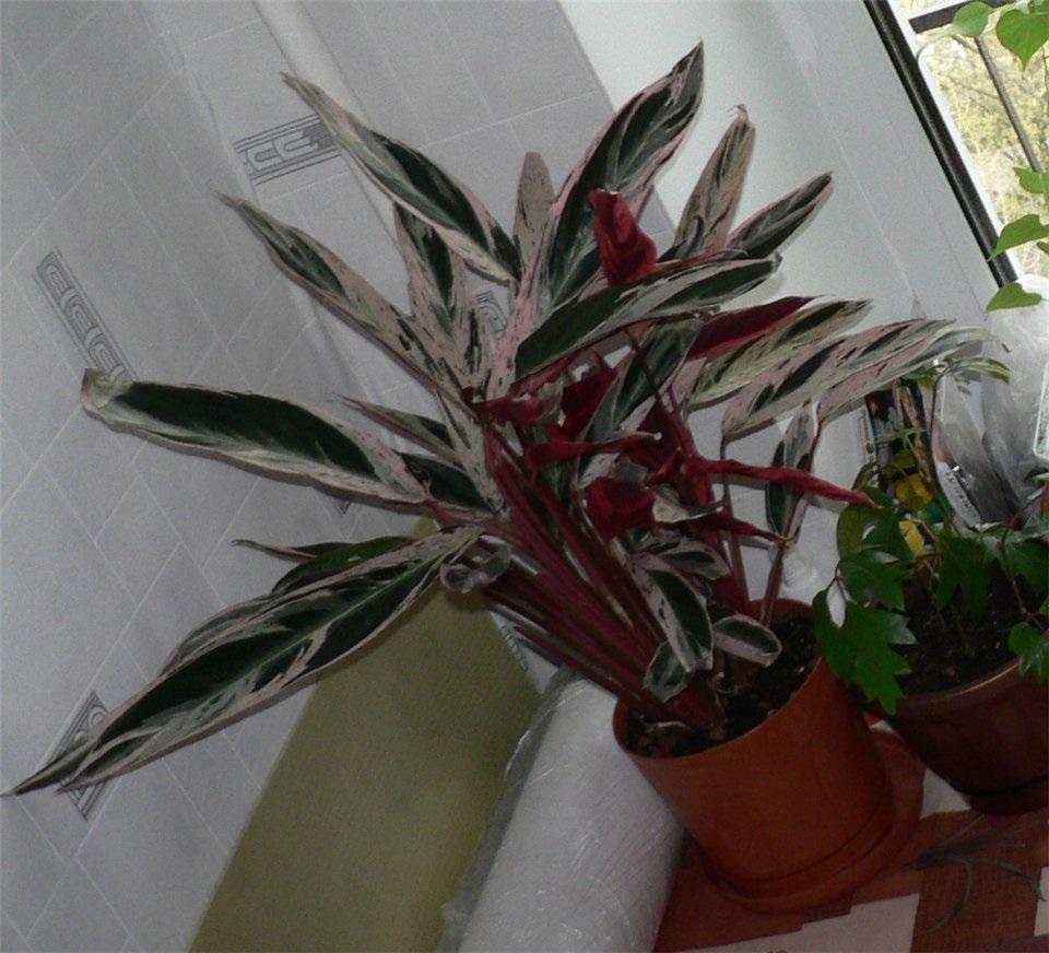 Несколько цветов на листьях маранты