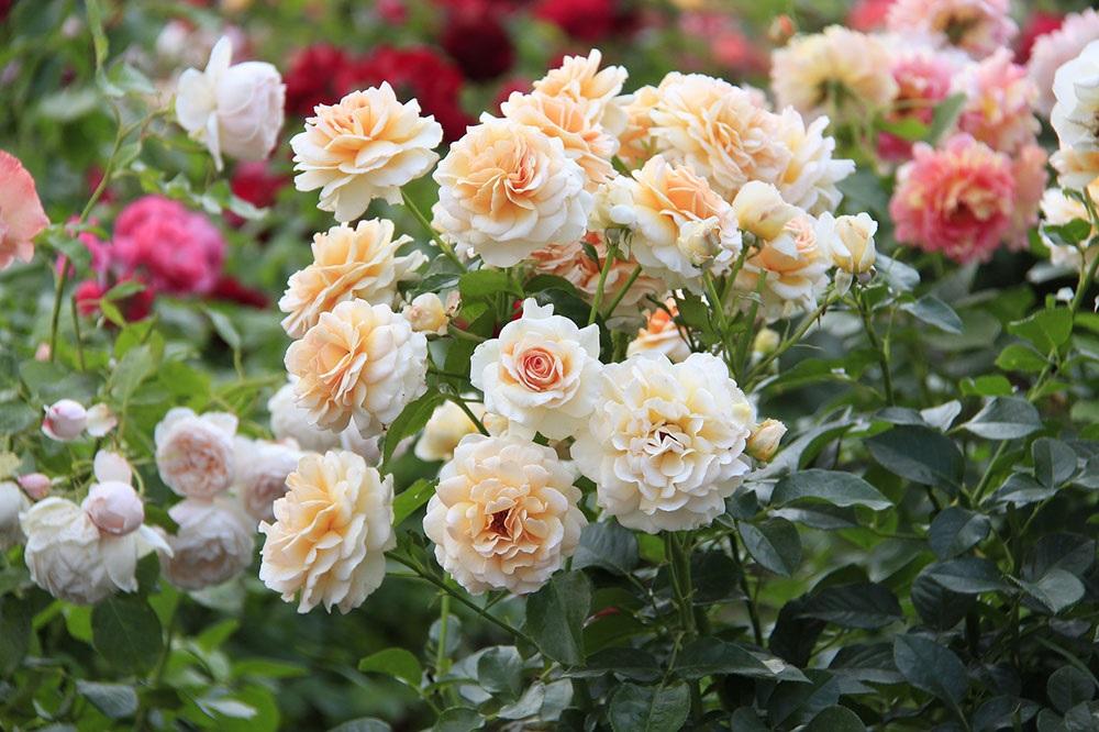 Бело-оранжевые розы
