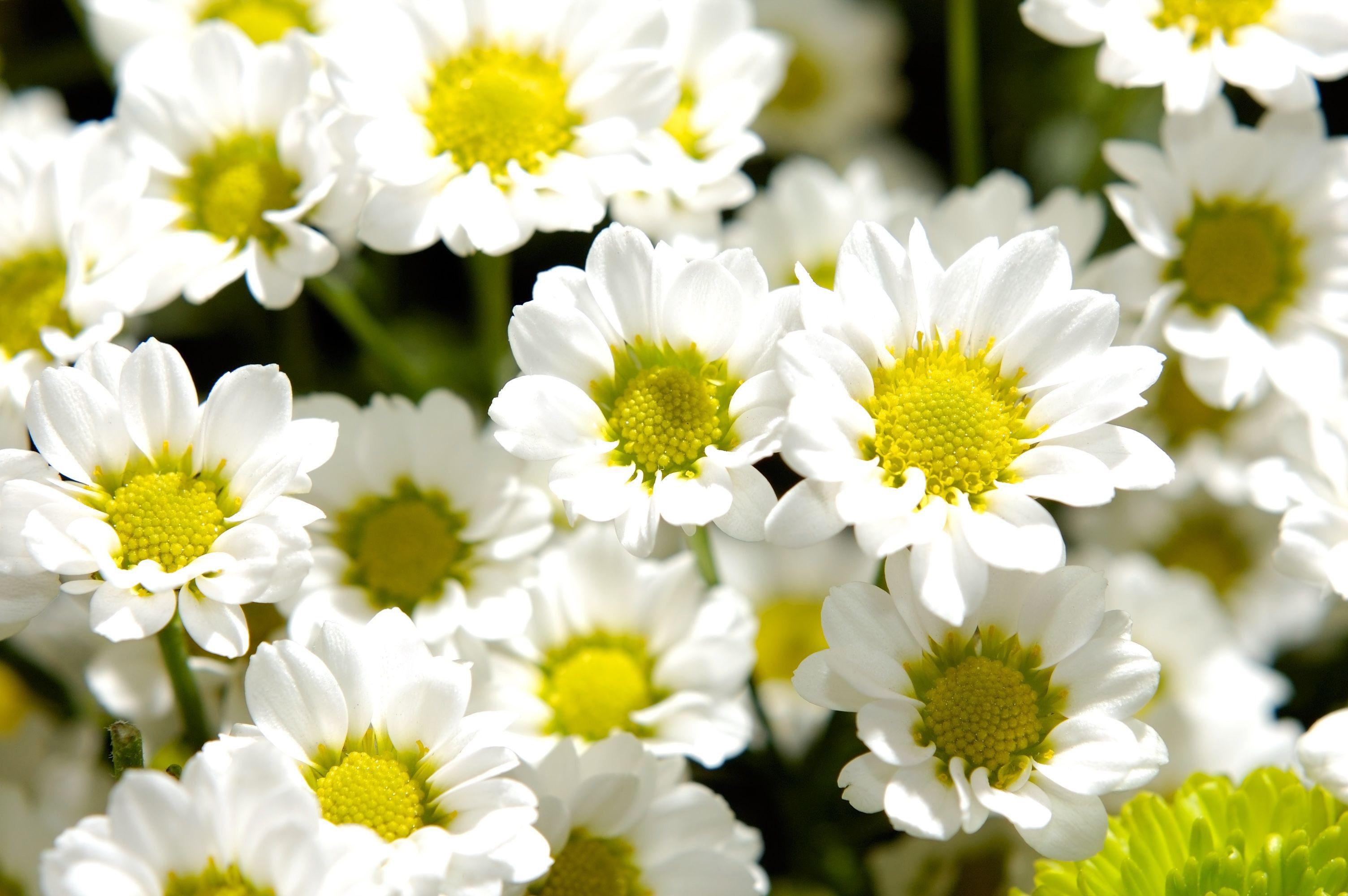 Мелкие кустовые хризантемы