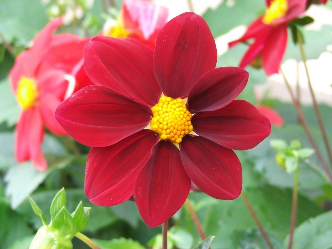 Скромные красные соцветия