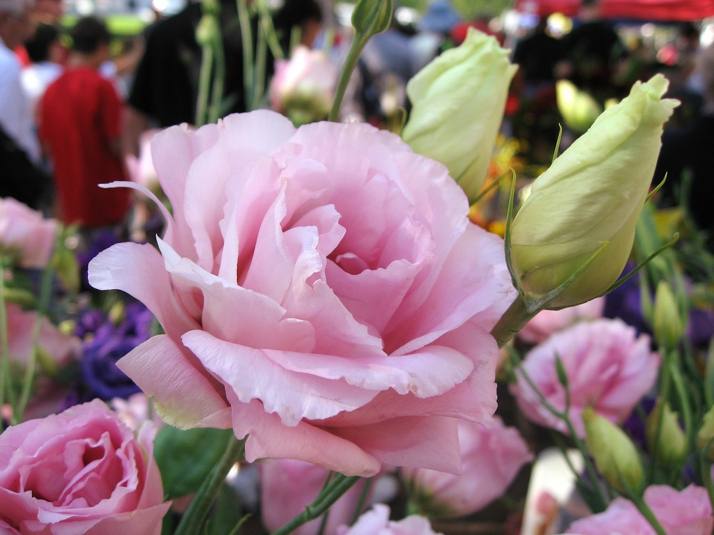 Пышный розовый цветок