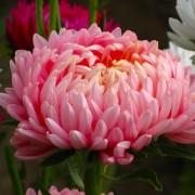 Крупноцветковая розовая астра