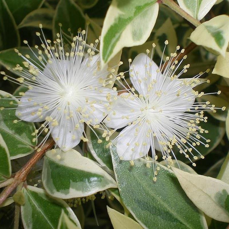 Мирт звичайний квітка фото