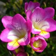 Распустившиеся цветы фрезии
