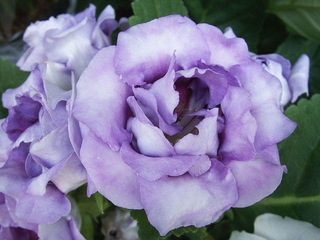 Сиреневый цветок эустомы крупно