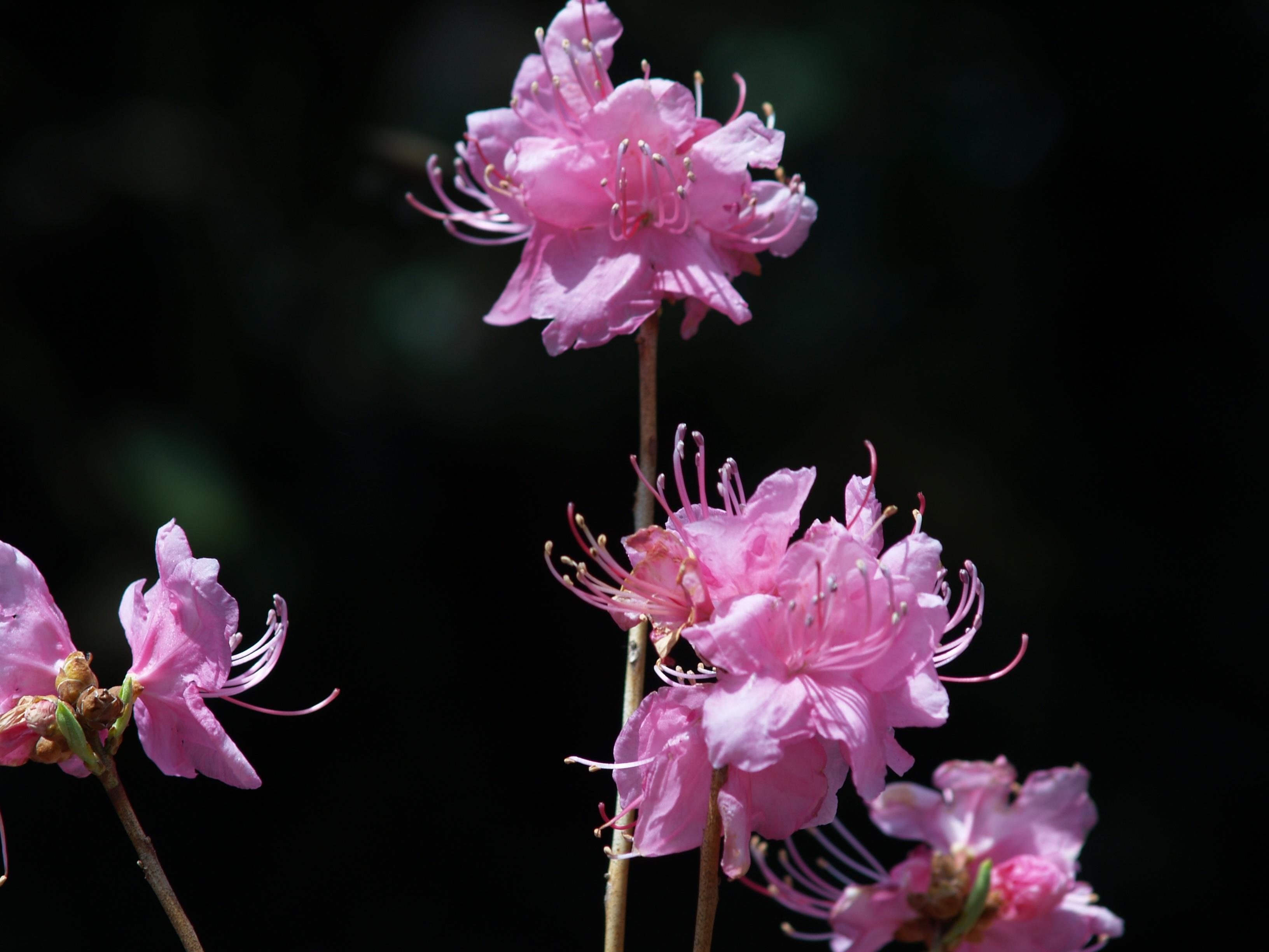 Нежно-розовый рододендрон