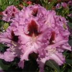 Рододендроны – яркий акцент в саду