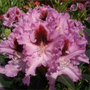 Шикарное соцветие рододендрона